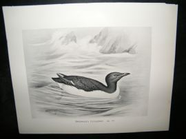 Frohawk 1898 Antique Bird Print. Brunnich's Guillemot